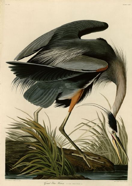 Audubon, John James: Great Blue Heron. Birds of America.  Fine Art Print.  (0065)